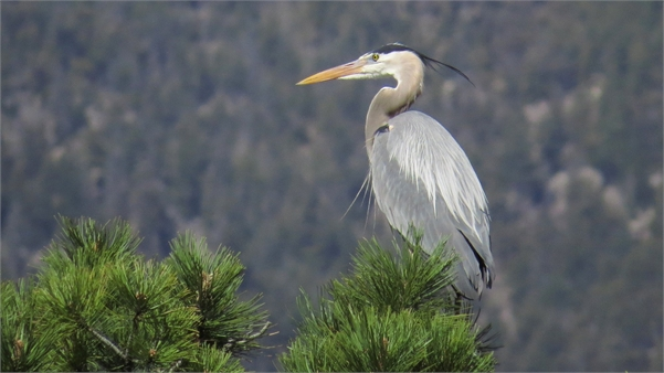 Blue Heron at Red Rock Canyon Open Space
